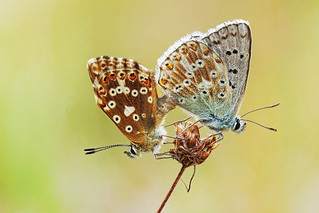 Bläulinge - Lycaenidae