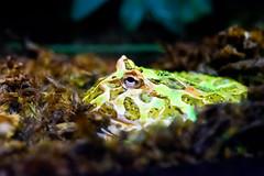 Cranwell's Horned Frog (Ceratophrys cranwelli) of Enoshima Aquarium, Fujisawa : クランウェルツノガエル(藤沢市・新江ノ島水族館) (Dakiny) Tags: 2018 summer july japan kanagawa fijisawa shonan coast enoshima kataseenoshima park aquarium enoshimaaquarium city street creature animal amphibian frog cranwellshornedfrog ceratophryscranwelli macro bokeh nikon d750 nikonafsmicronikkor60mmf28ged fsmicronikkor60mmf28ged