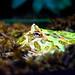 Cranwell's Horned Frog (Ceratophrys cranwelli) of Enoshima Aquarium, Fujisawa : クランウェルツノガエル(藤沢市・新江ノ島水族館)