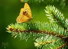 Butterfly (Jurek.P) Tags: butterflies butterfly motyle perłowiecmalinowiec silverwashedfritillary closeup summer lato jurekp sonya77 c