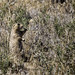 Prairie Dogs at Arches.011