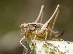 P8080114 (turbok) Tags: gemeinestrauchschreckepholidopteragriseoaptera heuschreckenorthoptera insekten tiere