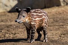 Baird's Tapir Calf (San Diego Zoo Global) Tags: baby babyanimals babyanimal cute adorable animal animals cuteanimals bairdstapir tapir tapirs endangeredspecies sandiego sandiegozoo nature wildlife centralamericantapir swim endangered endextinction