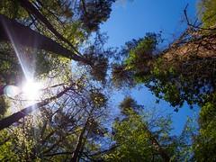 Blueskies and trees (AMcUK) Tags: em10 em10ii omdem10 omdem10mkii em10mkii omd olympusuk m43 micro43rds micro43 microfourthirds olympus olympusdigital olympusdigitalcamera olympusomd woods trees tree wood forest copse timber