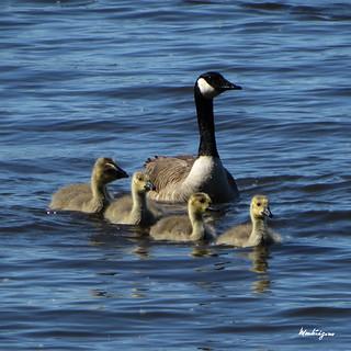 Canada Goose Goslings -  Oisons de Bernache du Canada