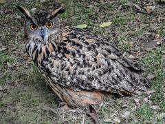 Eurasion Eagle Owl (petermorton42) Tags: eagleowl owl eurasioneagleowl bird southdowns sussex britishbirds britishowls europeanowls england uk