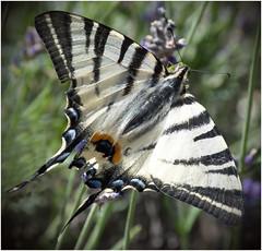 Papilio machaon - Schwalbenschwanz (kurtwolf303) Tags: schwalbenschwanz schmetterling nahaufnahme nikon nikond5500 insekt butterfly papiliomachaon animal natur nature macro swallowtail kurtwolf303