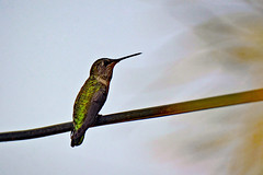Anna's Hummingbird, male (maccandace) Tags: hummer hummingbird annashummingbird