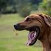 Rhodesian Ridgeback yawning