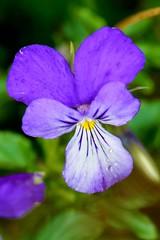 FIOŁEK DACKI (Viola dacica) 1 (goolary) Tags: flowers beskidy kwiaty przyroda góry