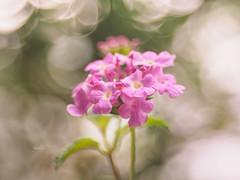 Lantana camara (Ngoc Black) Tags: lantana camara lantanacamara flower manualfocus macro m42lens m42 olympusomdem1 omdem1 olympus meyertrioplan50mmf29 meyer meyertrioplan
