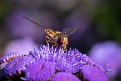 Hoverfly (Maria-H) Tags: england unitedkingdom gb hoverfly ageratum flower arleyhall garden cheshire uk olympus omdem1markii 60mm macro