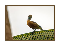 Zen and the Art of Palm-Frond Balancing (JohnKuriyan) Tags: kumarakom kerala whistlingduck nikonnaturephotography