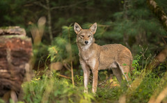 Always on the Prowl (Cathy Midtsem) Tags: cade'scove wildlife smokymountains coyote animals forest