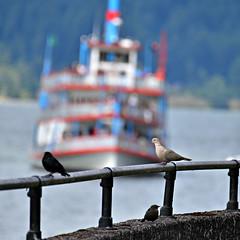 DSC_5587 dove sternwheeler (eyegoo) Tags: eurasiancollareddove blackbird sternwheeler cascadelocks