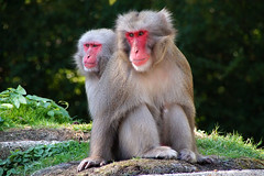 DSC06677 (Christine Gerhardt) Tags: affe deutschland flickrtreffen2018aug12 japanmakak macacafuscata stuttgart tierfoto wilhelma zoo