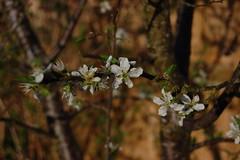 Prunus domestica 'Herman' (basswulf) Tags: prunus prunusdomestica herman plum blossom d40 1855mmf3556g lenstagged unmodified 32 image:ratio=32 permissions:licence=c plantdb:family=pending 20180419 201804 3008x2000 garden backgarden normcres oxford england uk