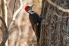 7K8A0969 (rpealit) Tags: scenery wildlife nature hyper humus pileated woodpecker bird