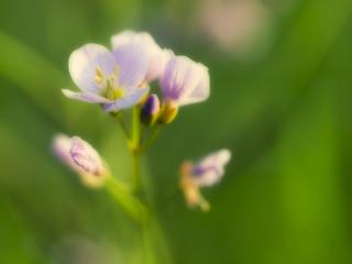 Nature blossoms - Wiesen-Schaumkraut (Cardamine pratensis)