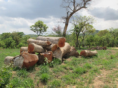 Adjumani timber (FAO Forestry) Tags: fao un uganda refugees unhcr world bank environment energy south sudan woodfuel forestry