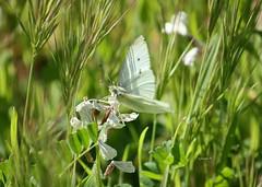 Mariposa Blanquita de la Col. Lepidoptero de nombre científico Pieris rapae. Mariposa diurna de la familia pieridae. Ya van apareciendo las mariposas aunque por ahora solo he visto cinco o seis especies de las docenas de ellas que habitan los campos (EMferrer) Tags: insecto mariposa fotosmacro blanquitadelacol insectos topmacro wildlife instabutterfly insect lepidopteros bestmacro pieris macrocaptures macrofotografia lepidoptero macrobrilliance naturaleza macrobutterfly butterfly mariposasespaña lepidoptera macrophotograph pierisrapae mariposas mariposadiurna insectsinstagram macrofoto fotografiamacro mariposablanca