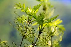 It's spring (KPPG) Tags: spring frühling planze knospe baum tree bokeh 7dwf