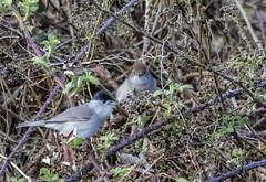 9Q6A9587 (2) (Alinbidford) Tags: alancurtis alinbidford blackcap brandonmarsh nature wildbirds wildlife