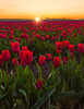 Sunset at Skagit Valley (Mt Vernon, WA) (Sveta Imnadze) Tags: tulips flowers landscape mtvernon tulipfestival sunset sunburst skagit valley tulip festival