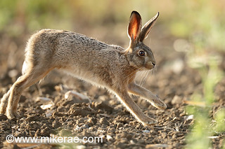 Brown hare close jogging past young maize dry ground. July Suffolk.  Lepus europaeus