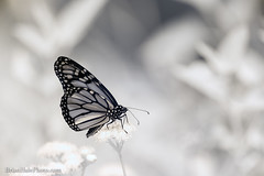 Monarch 720nm IR (Brian M Hale) Tags: kolari vision kolarivision ir infrared infra red butterfly new england newengland usa ma mass massachusetts brian hale brianhalephoto outside outdoors nature flower orchid lily floral botany 720nm 720 monarch insect