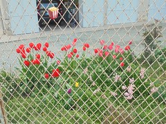 029 (en-ri) Tags: tulipani giacinti rosso giallo rosa viola foglie leaves sony sonysti aiuola