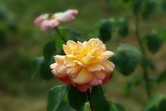 Roseraie de Rosheim -2- (mamietherese1) Tags: world100f earthmarvels50earthfaves