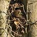 Nest building Wren (Troglodytes troglodytes) - Cullompton Leat - April 2018