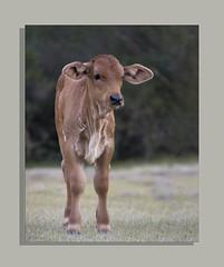 IMG_6145 (rozoshea) Tags: calves cows farmanimals babies cute ontheland country