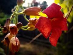 Flowering Vine (MoparMadman63) Tags: wisteria red bloom vine flower garden backyard suburb texas flora