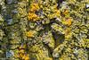 Lichen on Bark (M_Bleez) Tags: bark lichen tree woods