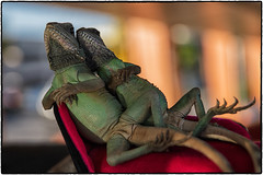 What ?!? Never seen two lizards snuggle on a red chaise before ? (drpeterrath) Tags: canon eos5dsr 5dsr animal lizard reptile bokeh dof color naturallight losangeles burbank bigboy red chaise goldenhour california hollywood pose