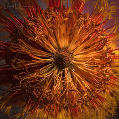 Set the Controls for the Heart of the Sun (Dave Whiteman - AU) Tags: flower lightbox banksia australiannativeplant macro studio plant floral