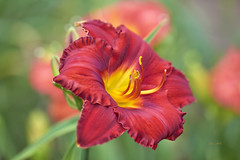 Bright Red Daylily (ChristopherLeeHewitt) Tags: daylily red summer sunlight stamens sun bokeh flower fleur flora flowers foliage petals plants dof naturallight garden grower green bloom bright blossom nature nikon light color closeup