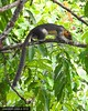 Giant squirrel (junhaeryjuna) Tags: squirrel sepilok sandakan animal rainforestdiscoverycentre nature