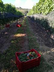 Sauvignon Blanc harvest, Querétaro, Mx, 2018 (juanvicenteacevedorueda) Tags: harvest vendimia grapes