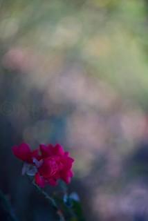 DSC02088 Little red rose..