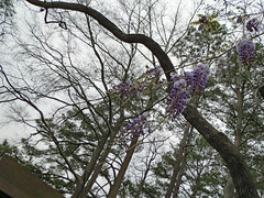 Crooked Tree Limb And Wisteria. (dccradio) Tags: lumberton nc northcarolina robesoncounty sky cloudy overcast greysky graysky tree trees woods wooded forest wisteria plant vine flower flowering floral flowers bloom blooming bud budding purple lavender beauty pretty nature natural scenic outdoor outdoors outside lutherbrittpark park citypark spring springtime canon powershot elph 520hs