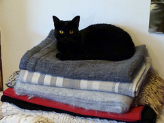 Cat with Blankets (knightbefore_99) Tags: vancouver eastvan bc cat kitty gato chat noir love pretty furry feline stack blanket bed sweet nap awesome