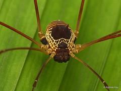 Harvestman, Cosmetidae: Discosomaticinae (Ecuador Megadiverso) Tags: andreaskay arachnida cosmetidae discosomaticinae ecuador harvestman opiliones