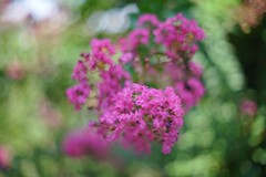 Minolta rokkor 50 1.2 (Mi-Fo-to) Tags: bokeh test 50 minolta rokkor 12 md lens lente sfocato flowers fiori nature natura lagerstroemia vintage