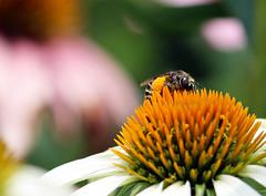 Honey Bee on a White Cone Flower (TomIrwinDigital) Tags: bee insect honeybee burlington coneflower flower pollen garden macro