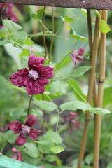 Purpurea Plena Elegans (mitkinat) Tags: flower garden clematis