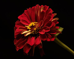 Red Zinnia 0722 (Tjerger) Tags: nature flower bloom blooming plant natural flora floral blackbackground portrait beautiful beauty black green wisconsin macro closeup yellow red single zinnia summer ivory