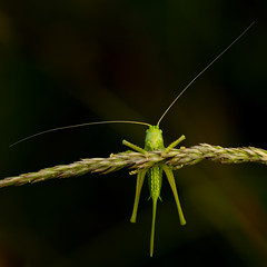 Sauterelle. (schwartzdavid57) Tags: 2018 pentax macro sauterelle grasshopper proxy 180mm sigma